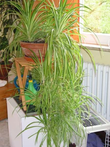 suche pflegeleichte alte zimmerpflanze f r schrank 2m vom pflanzen botanik green24. Black Bedroom Furniture Sets. Home Design Ideas